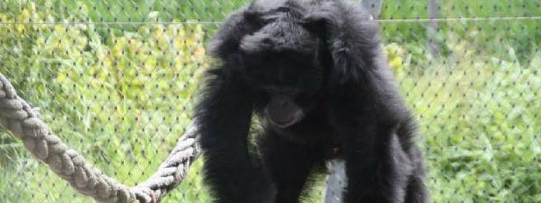Chimpanseecomplex bij Stichting AAP Blog Thumbnail 785x295 | Rowen Goes Ape