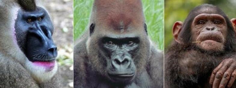 Limbe Wildlife Centre Blog Thumbnail 785x295 | Rowena Goes Ape