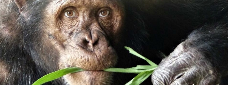 Chimpansee met Mensenogen Blog Thumbnail 785x295   Rowena Goes Ape