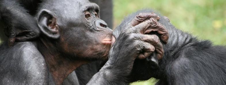 Bonobo Valentijnsdag Blog Thumbnail 785x295   Rowena Goes Ape